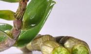 石斛的作用与疗效