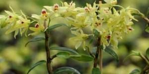 石斛花可以和哪些材料搭配泡水